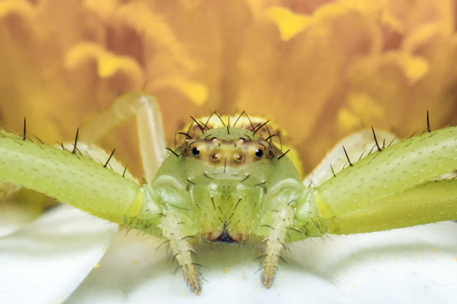 Crab Spider on a Flower
